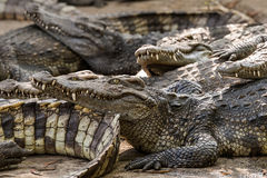 Saltwater crocodiles in zoo Royalty Free Stock Image