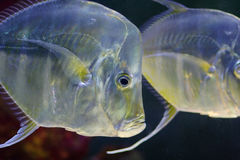 Saltwater fish. A view of a saltwater fish in an aquarium stock images