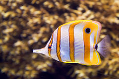 A saltwater fish under water Royalty Free Stock Images