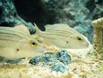 Saltwater fishes Royalty Free Stock Photography