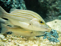 Saltwater fishes Royalty Free Stock Images