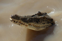 Saltwater krokodyl Fotografia Royalty Free