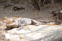 Saltwater krokodyl Zdjęcia Royalty Free