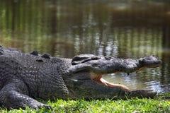 Saltwater krokodyl (Crocodylus porosus) Obrazy Stock