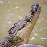 Saltwater krokodyl, QLD, Australia Zdjęcie Stock