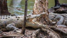 Saltwater krokodyl, QLD, Australia Zdjęcia Royalty Free