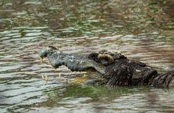 Saltwater krokodyl w stawie Obraz Royalty Free