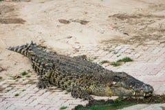 Saltwater krokodyl w stawie Fotografia Royalty Free