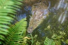 Saltwater krokodyl w stawie, widok przez liści Bali zoo Indonezja obrazy stock