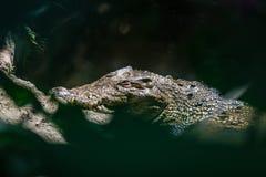 Saltwater krokodyl w stawie, widok przez liści Bali zoo Indonezja obraz stock