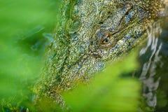 Saltwater krokodyl w stawie, widok przez liści z bliska Bali zoo Indonezja obraz royalty free