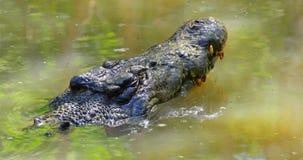 Saltwater krokodyla twarz Zdjęcie Royalty Free