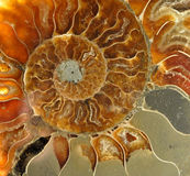 Saltwater old petrified fossils Stock Photography