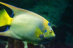 Saltwater ryba Zdjęcia Stock