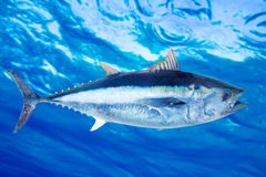 Saltwater thynnus Thunnus τόνου τόννων ψάρια στοκ εικόνες με δικαίωμα ελεύθερης χρήσης