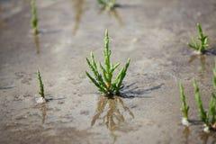 Saltwort - Salicornia europaea Royalty Free Stock Image