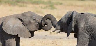 Saludo de dos elefantes en un waterhole para renovar la relación Imagen de archivo libre de regalías