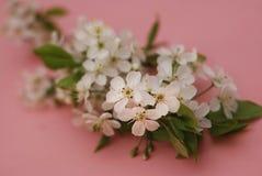Saludo de la tarjeta del fondo de Cherry Blossoms Bunch Spring Pink de las flores blancas Fotos de archivo