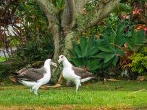 Saludo del albatros Imagen de archivo