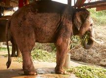 Saludo del elefante rosado Imagenes de archivo