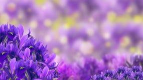 Saludos de la primavera, azafranes Imagenes de archivo