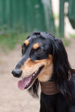 Saluki Royalty Free Stock Photos