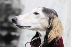 Σκυλί Saluki Στοκ Εικόνες