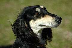 Saluki Royalty Free Stock Photography
