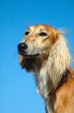 Saluki Stock Photography