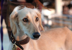 Saluki. Portrait royalty free stock images
