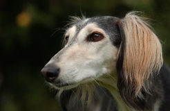 Saluki Royalty Free Stock Images