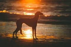 Saluki auf Sonnenuntergang Lizenzfreies Stockfoto