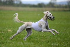 Saluki on the Coursing filed Royalty Free Stock Image