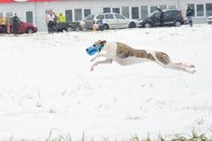 Saluki on coursing. Running vipet - greyhound Royalty Free Stock Images