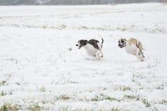 Saluki on coursing. Running vipet - greyhound Stock Images