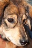 Saluki cross breed full frame face Stock Photos