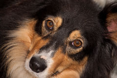 Saluki cross breed full frame face Royalty Free Stock Photo