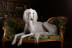 Saluki do galgo no interior real Imagem de Stock