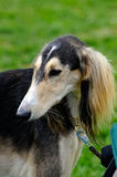 Saluki dog Stock Photography