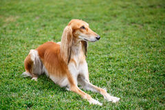 Saluki dog in the park. Saluki dog lying on the grass in the park Stock Photo