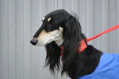 Saluki Dog. Salukis are members of the sighthound family because hunt mainly by sight Royalty Free Stock Photos