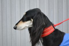 Saluki Dog. Salukis are members of the sighthound family because hunt mainly by sight Royalty Free Stock Photography