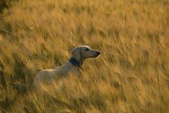 Saluki en la puesta del sol en un campo de trigo. Imágenes de archivo libres de regalías