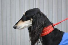 Saluki hund Royaltyfri Fotografi