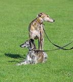 Saluki i charcica psy zdjęcia stock