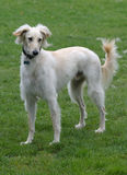 Saluki male, with a feathered coat Royalty Free Stock Photos