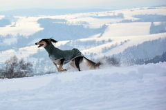 Saluki in the mountains Stock Images