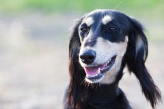 Saluki Persian Greyhound Stock Image