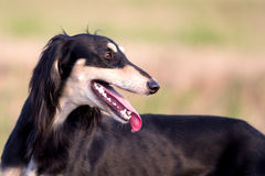 Saluki Persian Greyhound Stock Images