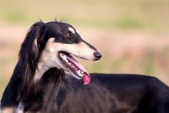 Saluki Persian Greyhound. Dog on old grass Stock Images